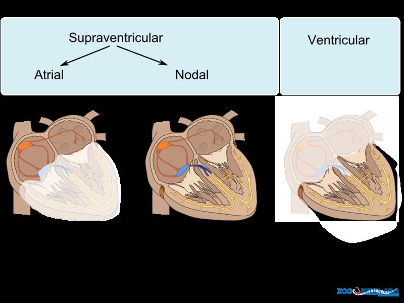 File:Atrial ventricular.png
