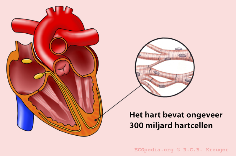 File:Hart cells.png