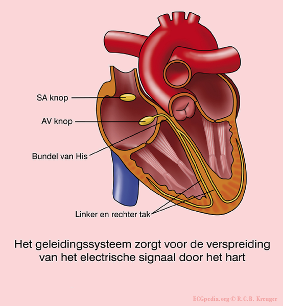 File:Conduction system.png